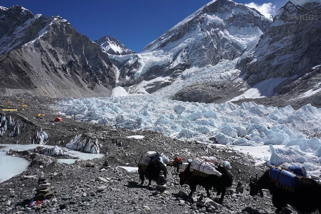 Yaks Everest Base Camp
