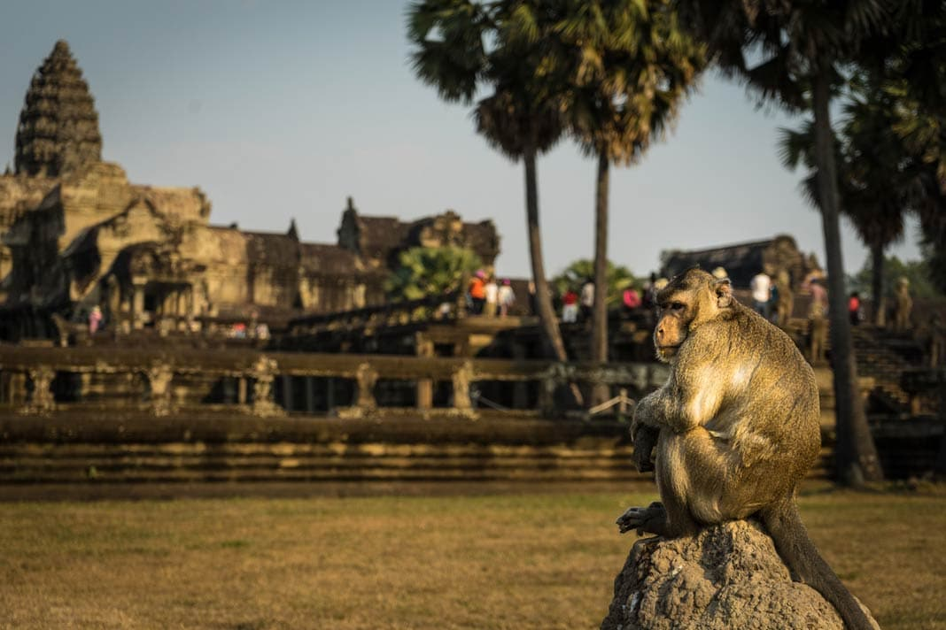 Affe in Angkor Wat