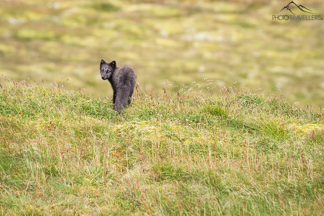 Ein junger Polarfuchs im Gras
